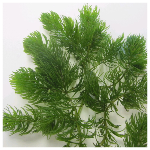 Ceratophyllum demersum - Hornwort - Bunched
