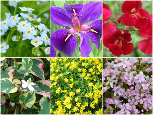 Marginal Plant Collection for Colour COLORN