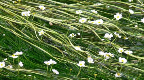 Ranunculus Aquatilis bunched