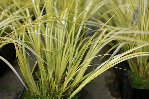 marginal pond plant. variegated sweet galingale 3 Acorus calamus /'Variegatus/'