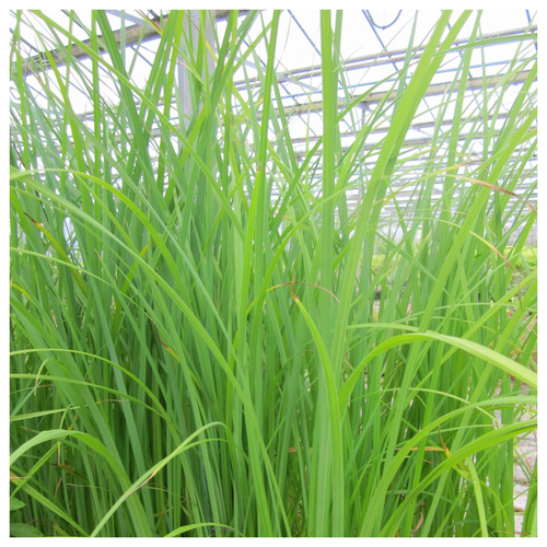 Carex acuta