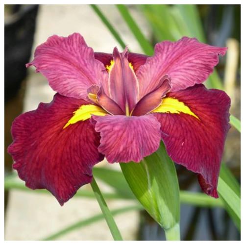 Iris louisiana 'Ann Chowning'