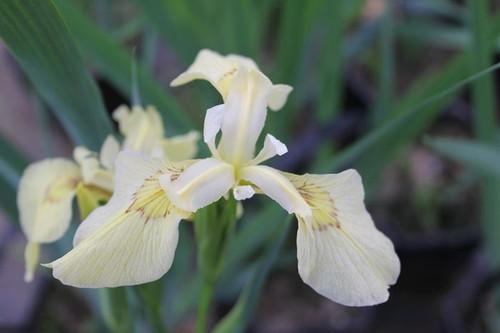 Iris pseudacorus  alba