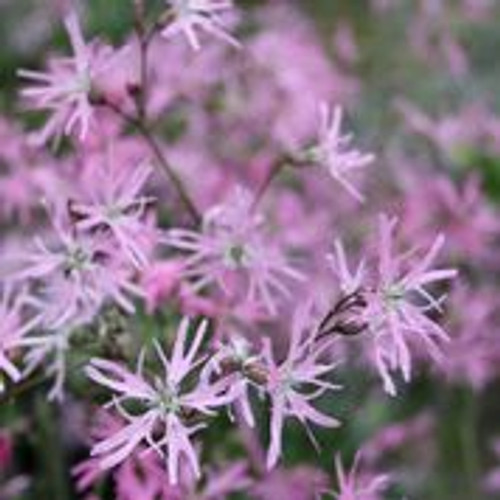 Lychnis flos cuculi 'Terry's Pink' - Dwarf ragged robin LYCFCT