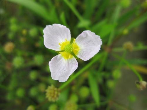 Baldellia ranunculoides  - Lesser water plantain