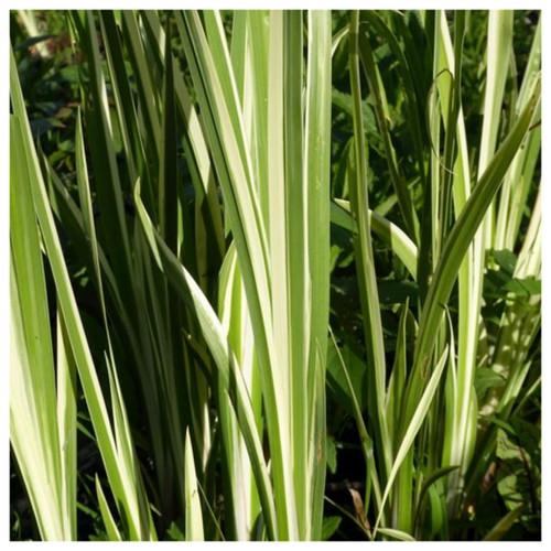 Acorus calamus variegatus - Variegated sweet flag
