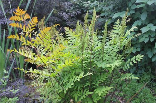 Osmunda regalis - Royal fern