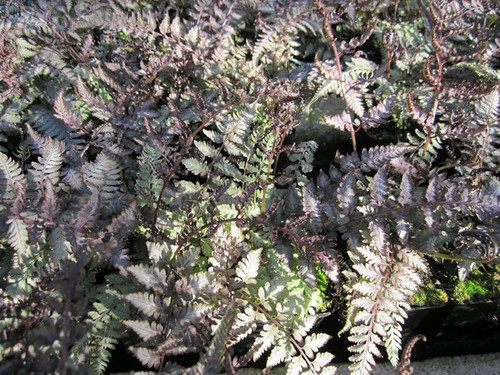 Athyrium niponicum Metallicum -  Japanese painted fern