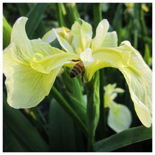 Iris pseudacorus bastardii