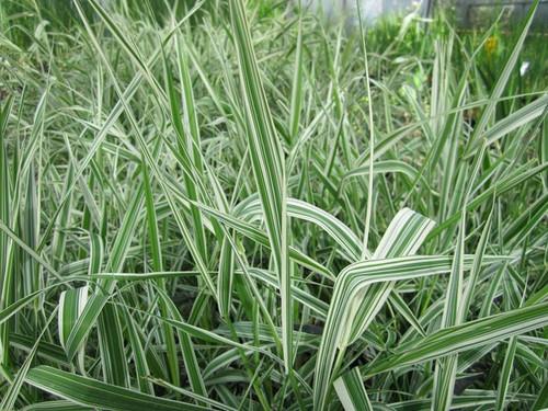 Phalaris arundinacea - Reed canary grass