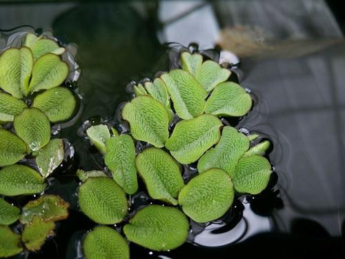 Salvinia natans - Floating watermoss SALNAT