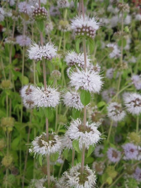 Mentha puleguim - Pennyroyal Pudding grass