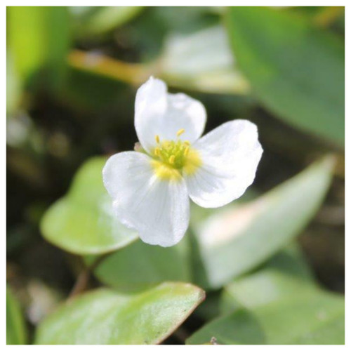 Luronium natans - Floating water plantain