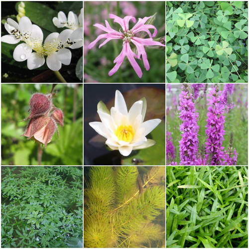 Blooming Marvellous Pond Plant Collection for a small pond (including white lily)