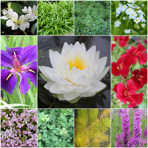Blooming Marvellous Pond Plant Collection for a Large pond (including white lily)