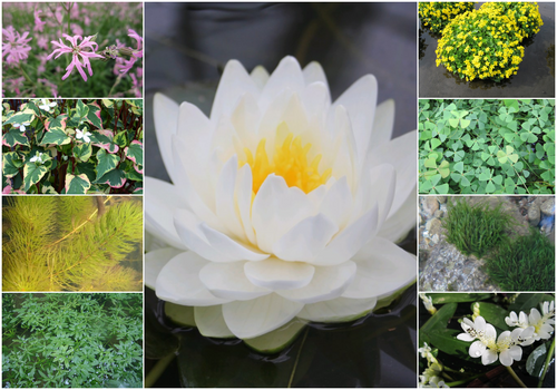 Blooming Marvellous Pond Plant Collection for a Medium pond (including white lily)