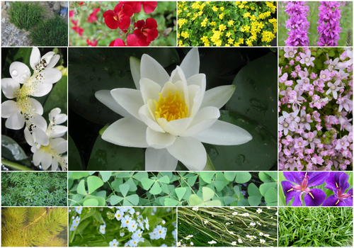 Blooming Marvellous Pond Plant Collection for a Jumbo pond (including white lily)