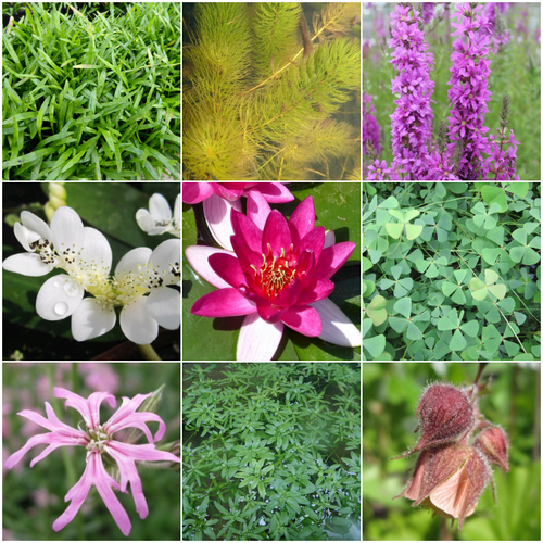 Blooming Marvellous Pond Plant Collection for a small pond (including red lily)