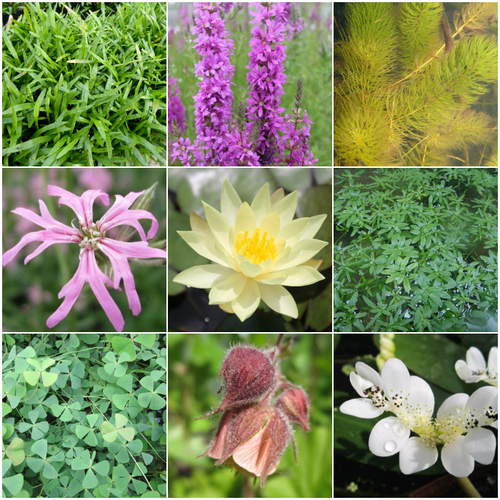 Blooming Marvellous Pond Plant Collection for a small pond (including yellow lily)