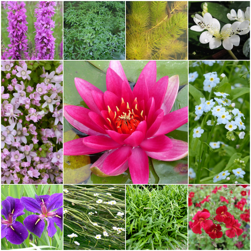 Blooming Marvellous Pond Plant Collection for a Large pond (including red lily)