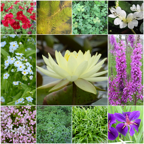 Blooming Marvellous Pond Plant Collection for a Large pond (including yellow lily)