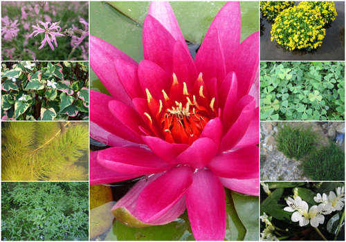 Blooming Marvellous Pond Plant Collection for a Medium pond (including red lily)