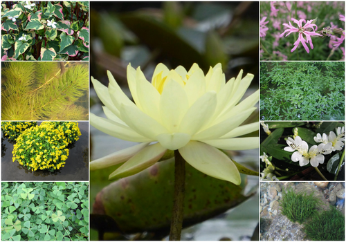 Blooming Marvellous Pond Plant Collection for a Medium pond (including yellow lily)