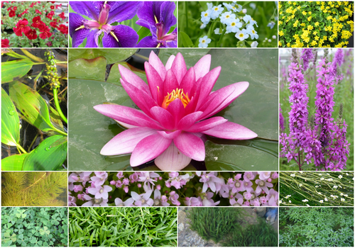 Blooming Marvellous Pond Plant Collection for a Jumbo pond (including red lily)