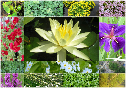 Blooming Marvellous Pond Plant Collection for a Jumbo pond (including yellow lily)