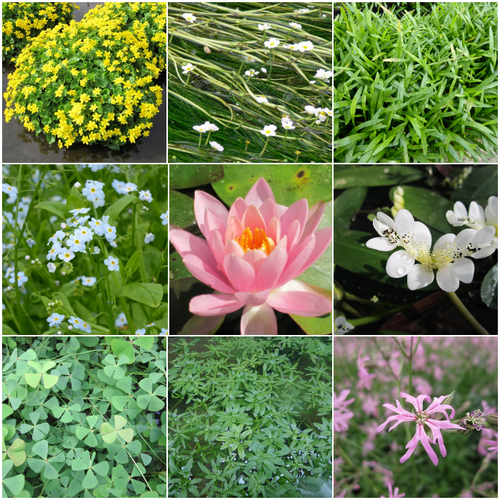 Blooming Marvellous Pond Plant Collection for a small pond (including pink lily)
