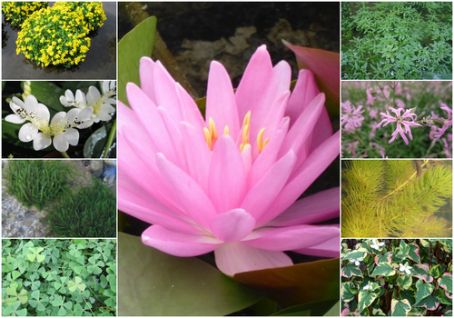 Blooming Marvellous Pond Plant Collection for a Medium pond (including pink lily)