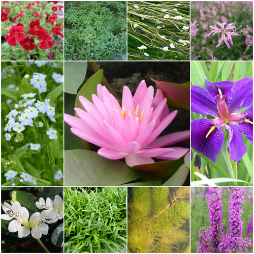 Blooming Marvellous Pond Plant Collection for a Large Pond (Including Pink Lily)