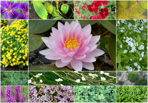 Blooming Marvellous Pond Plant Collection for a Jumbo Pond (Including Pink Lily)