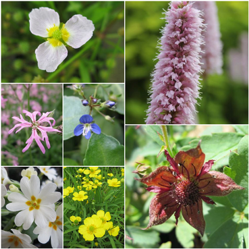 Great British Native Marginal Pond Plant Collection