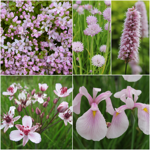 'Pretty in Pink' Marginal Pond Plant Collection