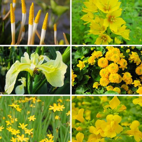 Mellow Yellow Marginal Pond Plant Collection
