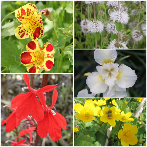 The Royal Marginal Pond Plant Collection