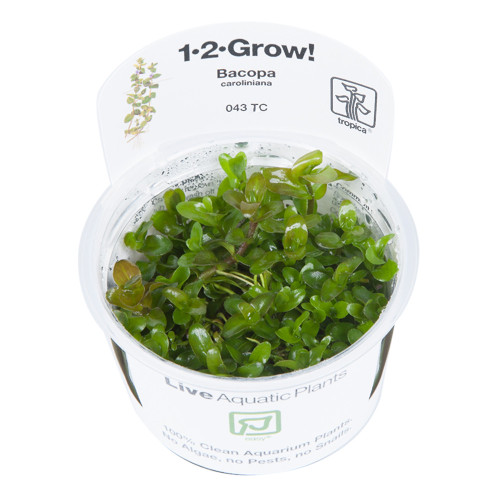 Bacopa caroliniana 1-2-Grow - Aquarium Plant