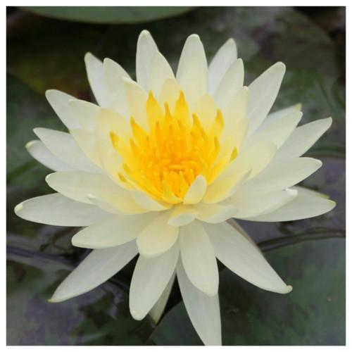Nymphaea Lemon Mist - Yellow Water Lily