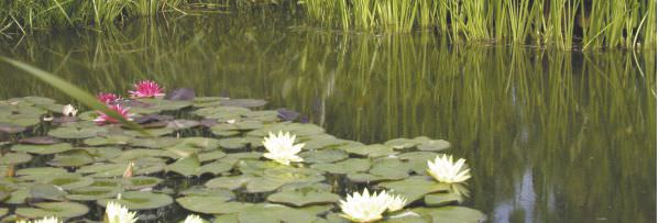 lily-pond.jpg