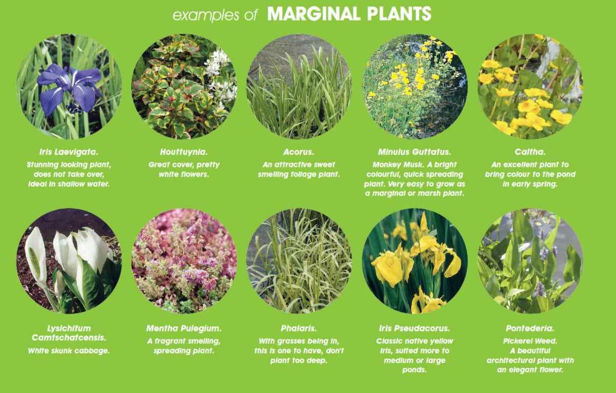 marginal-pond-plant-examples.jpg