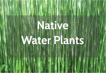 native-pond-plants.png
