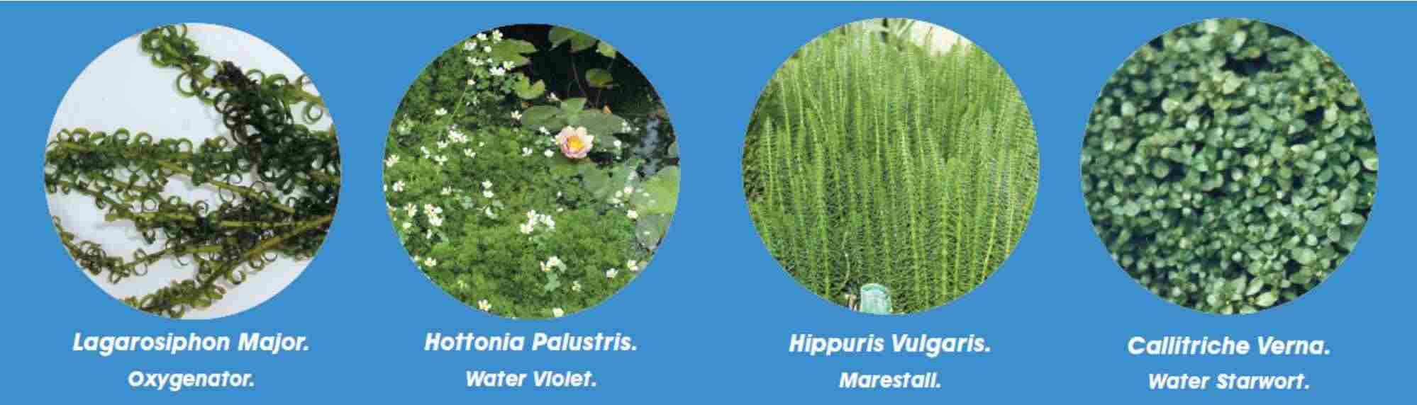 oxygenating-pond-plants.jpg