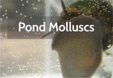pond-molluscs.png
