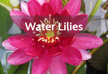 Buy Water Lilles