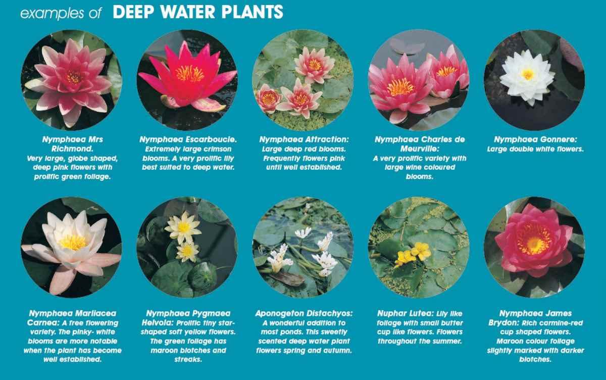 water-lilies-deep-water-examples.jpg