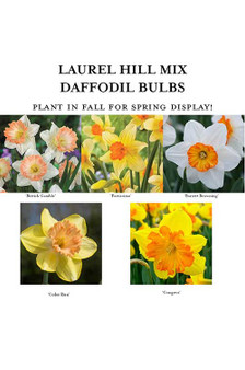 Laurel Hill Mix Daffodil Bulbs - Quantity 5