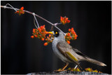 """Noisy Brunch"" -  fine art photo print of noisy miner eating honey by Swapnil Nevgi"