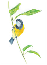 Golden Whistler bird open edition fine art print by Swapnil Nevgi Fine Art
