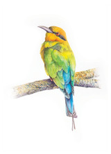 Rainbow Bee-eater bird open edition fine art print by Swapnil Nevgi Fine Art